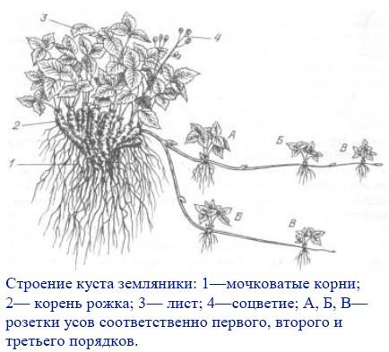 травянистое растение.
